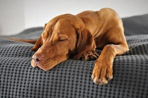 Brown dog on sofa photo