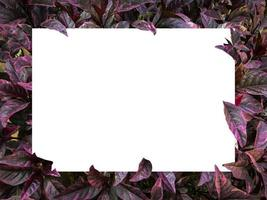 Blank white rectangle in purple foliage