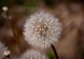 macro de flor de diente de león foto