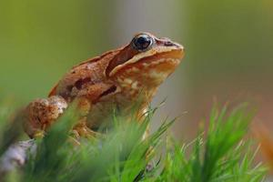 Hermosa rana manchada sentada sobre musgo