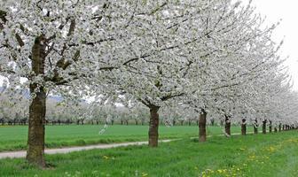 Cherry tree plantation photo