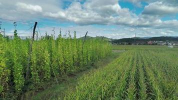 campos de milho e lúpulo