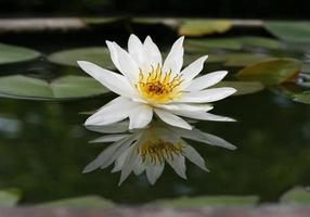 lindo lótus branco na lagoa