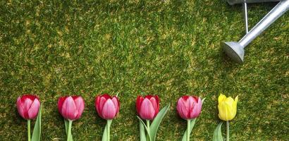 Row of tulips on grass, pink and one yellow
