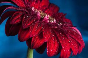 Fotografía macro de flor de gerbera con gota de agua foto