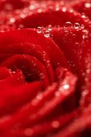 deep red rose frower background with water drops