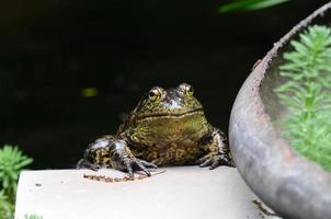 Bullfrog of Japan