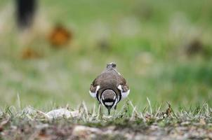 Killdeer (Charadrius vociferus) photo