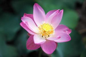 hermosa flor de loto en la naturaleza