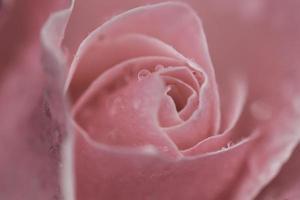 rose rose douce avec des gouttes d'eau, couleur vintage