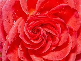 hermosa rosa roja con gotas de agua después de la lluvia