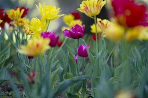 Dew on tulip