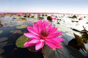 loto rosa en el estanque.