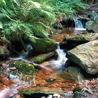 Serene water stream  surrounded by ferns and stones