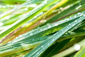 Beautiful green lemongrass leaf background with water drop.