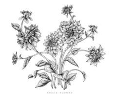 Dahlia flower drawings