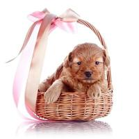 Puppy in a wattled basket with a bow.