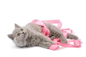 cute british kitten playing with pink ribbon isolated photo