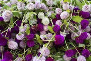 fondo hermoso del amaranto del globo púrpura y blanco foto