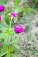 flor de amaranto globo