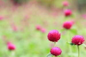 bloem-globe amarant