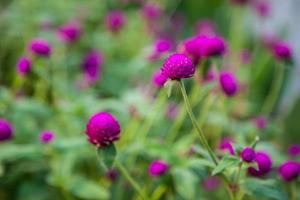 belleza púrpura amaranto foto