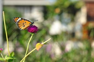 amaranto en jardinería con mariposa. foto