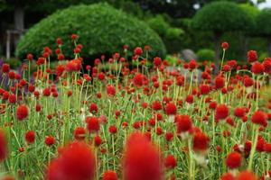 globe amaranth, gomphrena haageana 'aardbeienvelden