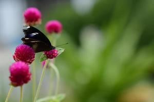 butterfly on globe amaranth