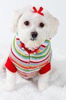 Winter puppy dog wearing striped jumper photo