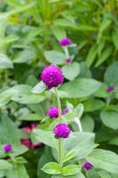 Globe Amaranth flower