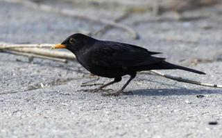 Blackbird on stone pavement