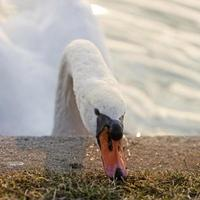 cisne blanco alimentándose en el borde del lago