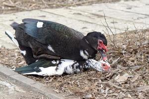 Muscovy ducks mating on ground