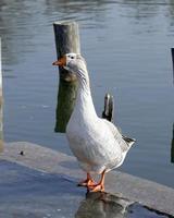 ganso de pie en el borde del lago