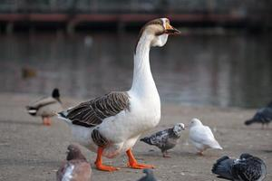 Male goose walking between doves and ducks