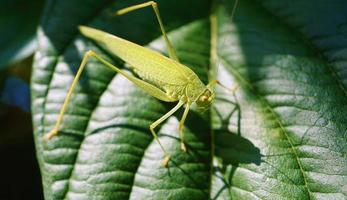 Grasshopper on a green leaf