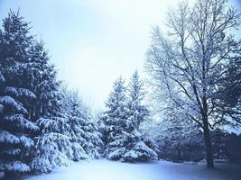 Winter landscape with fir trees photo