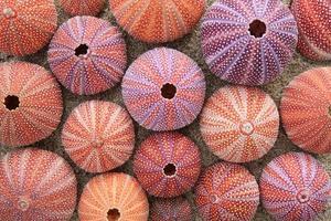 Red sea urchin shells