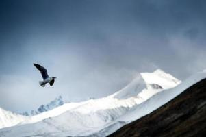 seagulls in action flying on the snow moutain
