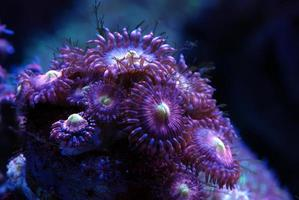 Tropical reef coral zoanthid