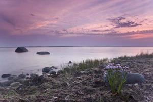 Aster de mar, Tripolium vulgare floreciendo a la orilla del mar foto