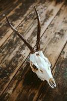 cráneo de dólar en tablas viejas