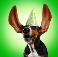 Beagle dog with ears in the air wearing a birthday hat photo
