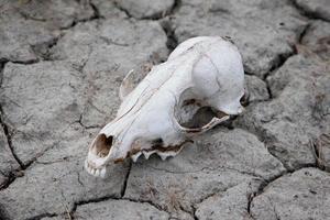 Dog Skull photo