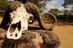 cráneo de búfalo