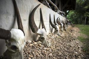 cráneos de búfalo.