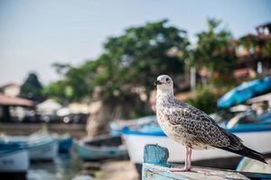 Sea gull photo