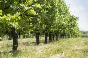 fruit trees photo