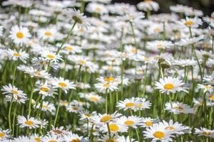 Sea of Daisy